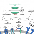 Metabolic scheme of the AOA symbiont in I. basta