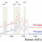 Single Cell Stable Isotope Probing in Microbiology using Raman Microspectroscopy