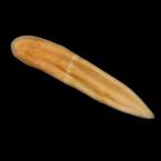 Xenoturbella japonica